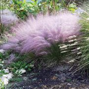 Muhlenbergia Pink Muhly Grass