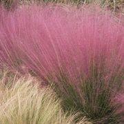 Muhlenbergia Pink Muhly Grass Alternate Image 1