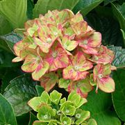 Hydrangea Next Generation® Pistachio Alternate Image 1