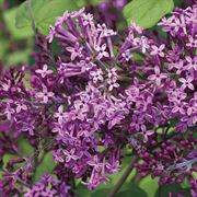 Syringa Bloomerang® Dark Purple image