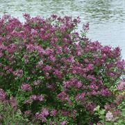 Syringa Bloomerang® Dark Purple Alternate Image 1