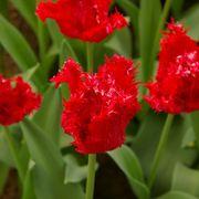 Tulip Barbados Alternate Image 3