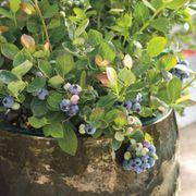 Bushel and Berry™ Peach Sorbet™ Blueberry