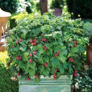 Bushel and Berry® Raspberry Shortcake® Alternate Image 3