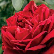 Desmond Tutu Sunbelt® Floribunda Rose Thumb