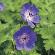 'Rozanne' Geranium image