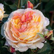 La Park Rose