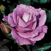 Angel Face Floribunda Rose Thumb