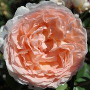 Bliss Parfuma® Grandiflora Rose Thumb