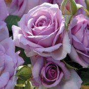 Enchanted Evening™ Floribunda Rose