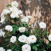 Rosa Lace Cascade