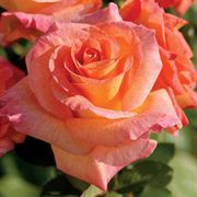 Mardi Gras™ Floribunda Rosa