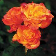 Rio Samba Hybrid Tea Rose Thumb