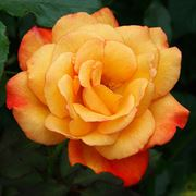 Rio Samba Hybrid Tea Rose Alternate Image 1