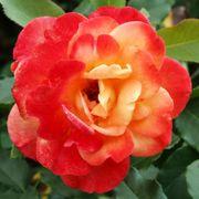 Rio Samba Hybrid Tea Rose Alternate Image 3