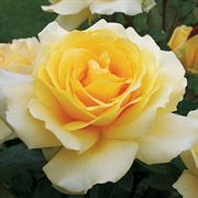 Winter Sun™ Eleganza® Hybrid Tea Rose