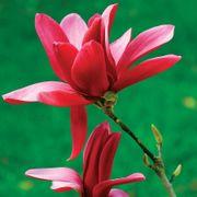 Burgundy Star Magnolia image