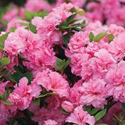 Azalea Bloom-a-Thon® Double Pink Thumb