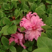 Azalea Bloom-a-Thon® Double Pink Alternate Image 1