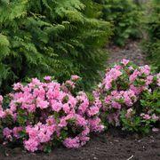 Azalea Bloom-a-Thon® Double Pink Alternate Image 2