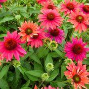 Echinacea Sombrero® Tres Amigos image
