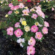 Rosa Peach Lemonade® image