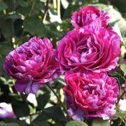 Show Your Stripes Grandiflora Rose