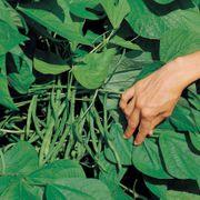 Jade Organic Bush Bean Seeds Thumb