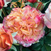 Crazy Love™ Grandiflora Rose Thumb