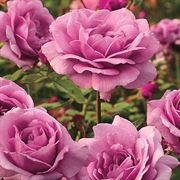 Sugar Plum Hybrid Tea Rose image