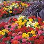 Dreamland™ Mix Hybrid Zinnia Seeds (P)Pkt of 25 seeds