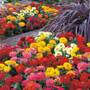 Dreamland™ Mix Hybrid Zinnia Seeds (P) Pkt of 25 seeds