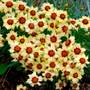 Autumn Blush Coreopsis