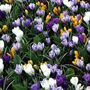Crocus Vernus Mix - Pack of 20