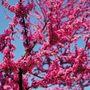 Appalachian Red Redbud