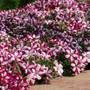 Easy Wave Burgundy Star Petunia Seeds
