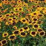 Denver Daisy™ Rudbeckia Seeds