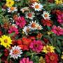 Zahara® Mix Zinnia Seeds Pack of 100