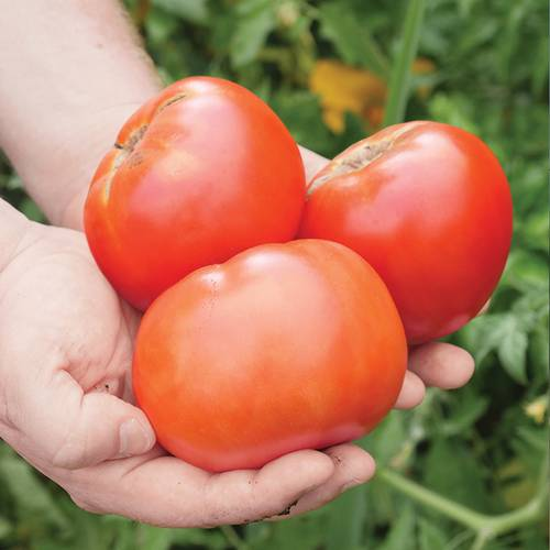 Shop All Exclusive Tomatoes