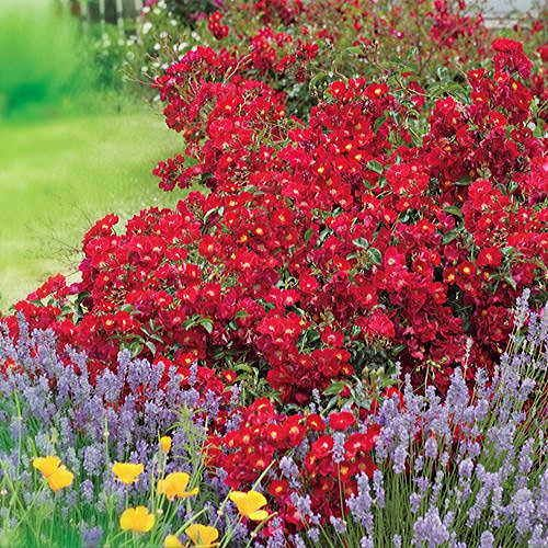 Red Ribbons® Groundcover Rose