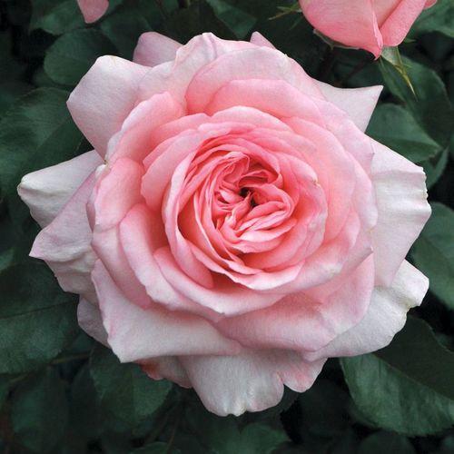 Shop All Rose Sale