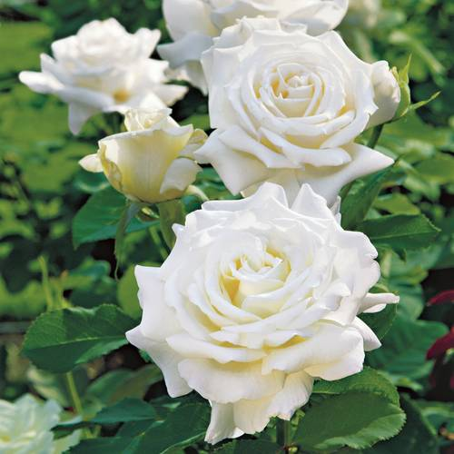 Pope John Paul II White Hybrid Tea Rose