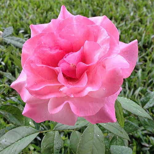 Our Lady of Guadalupe™ Floribunda Rose