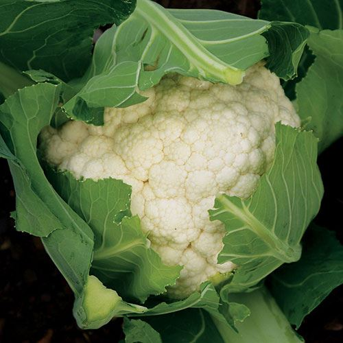 Shop All Cauliflower Seeds