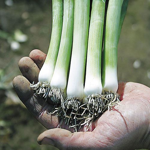 Shop All Leek Seeds