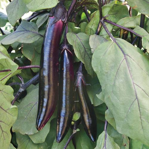 Shop All Eggplant Seeds