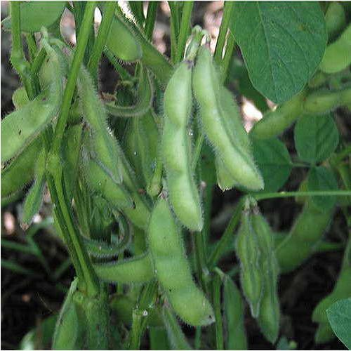 Shop All Soybean Seeds