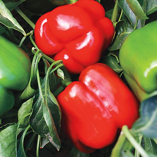 Shop All Pepper Seeds & Plants