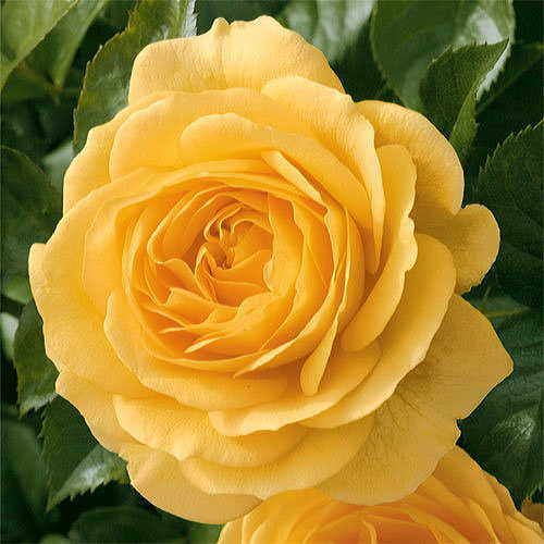 Julia Child™ Yellow Floribunda Rose
