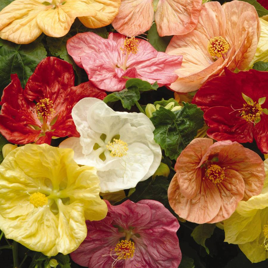 Crepe De Chine Mix Flowering Maple Seeds